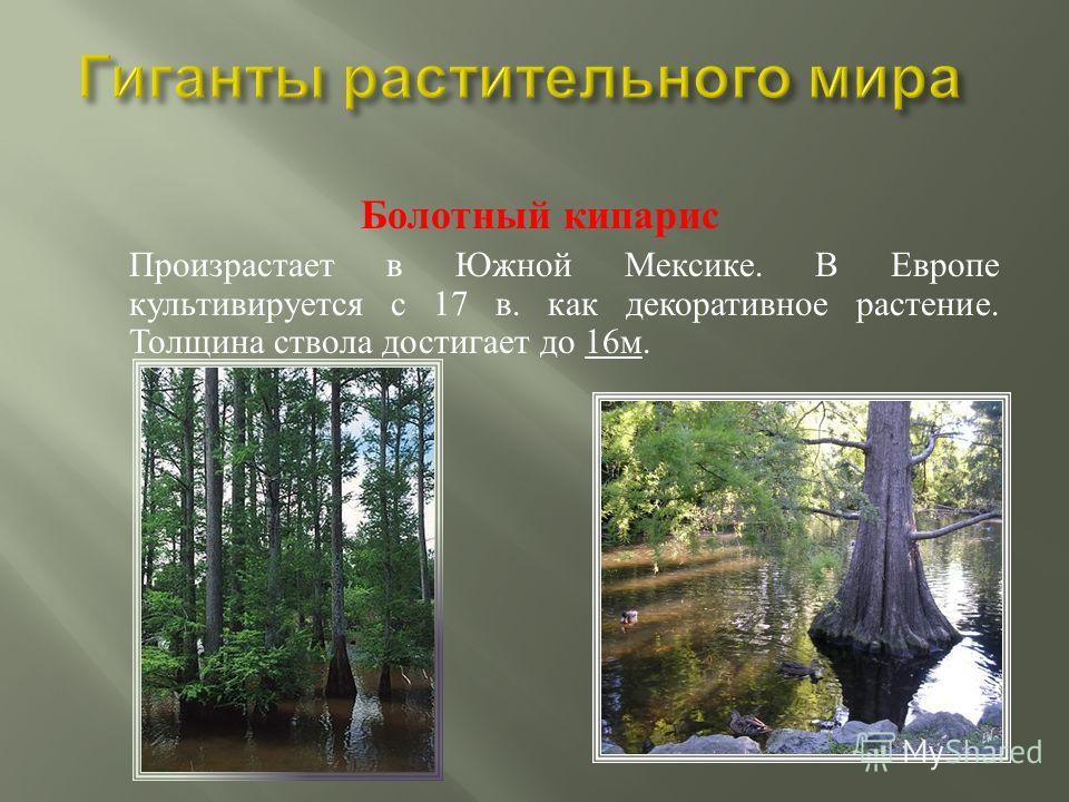 Мамонтово дерево Недавно найдено мамонтово дерево высотой 113 метров. Это мировой рекорд!
