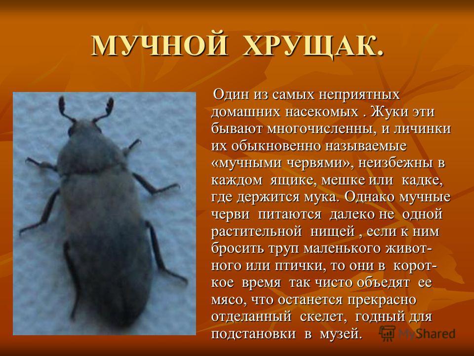 МУЧНОЙ ХРУЩАК. Один из самых неприятных домашних насекомых. Жуки эти бывают многочисленны, и личинки их обыкновенно называемые «мучными червями», неизбежны в каждом ящике, мешке или кадке, где держится мука. Однако мучные черви питаются далеко не одн