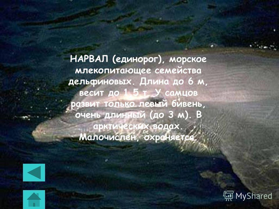 БЕЛУХА, морское млекопитающее семейства дельфиновых. Длина до 6 м, весит до 2 т. Обитает в северных морях. Объект ограниченного промысла (шкура и жир).