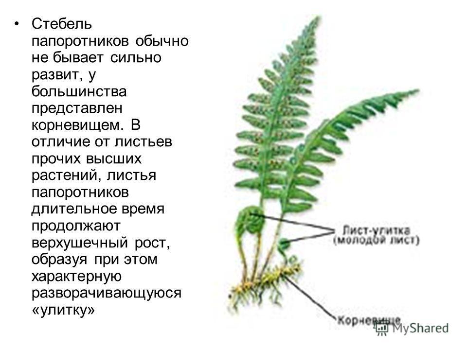 Стебель папоротников обычно не бывает сильно развит, у большинства представлен корневищем. В отличие от листьев прочих высших растений, листья папоротников длительное время продолжают верхушечный рост, образуя при этом характерную разворачивающуюся «