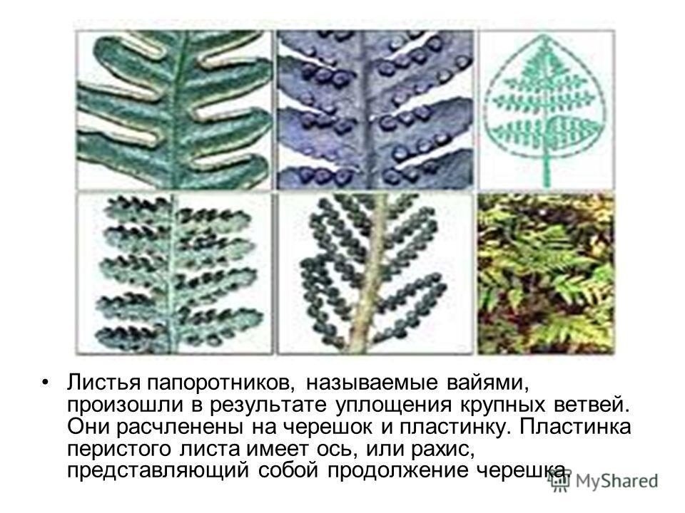 Листья папоротников, называемые вайями, произошли в результате уплощения крупных ветвей. Они расчленены на черешок и пластинку. Пластинка перистого листа имеет ось, или рахис, представляющий собой продолжение черешка.