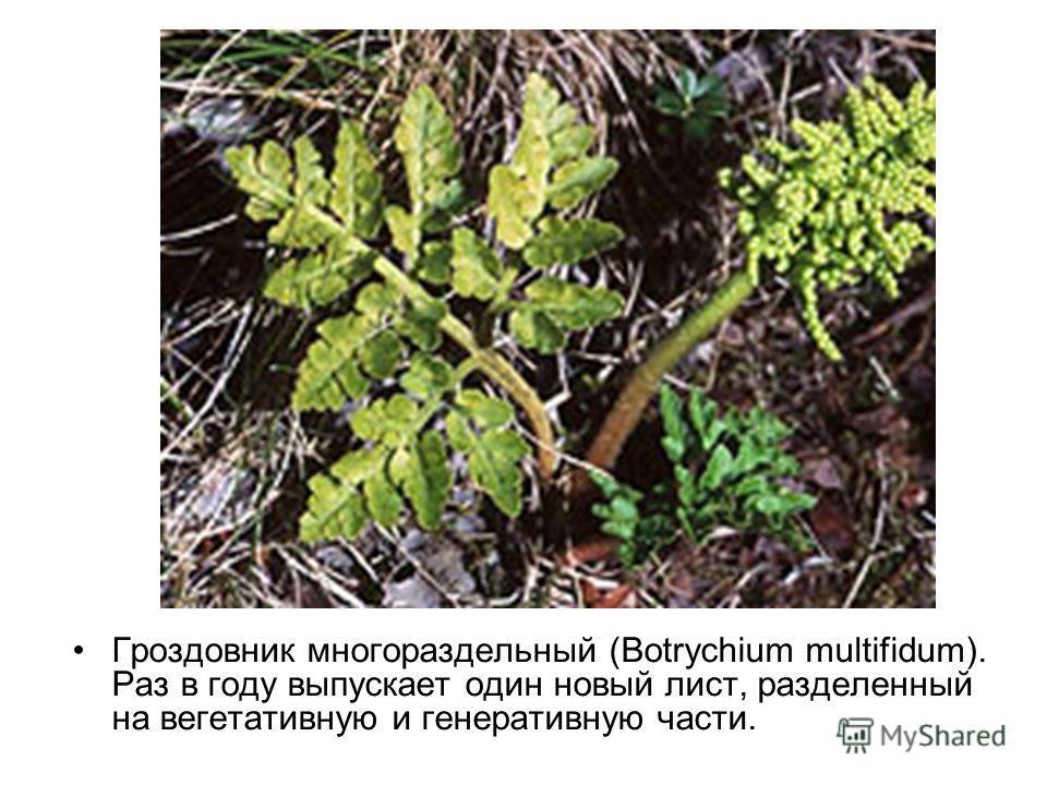 Гроздовник многораздельный (Botrychium multifidum). Раз в году выпускает один новый лист, разделенный на вегетативную и генеративную части.