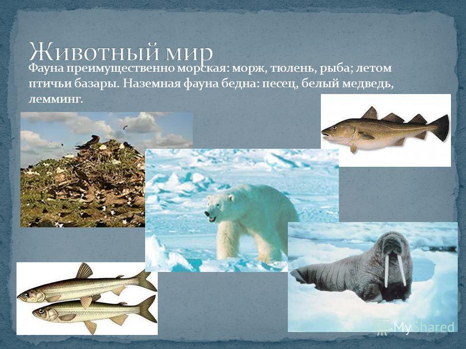 Фауна преимущественно морская: морж, тюлень, рыба; летом птичьи базары. Наземная фауна бедна: песец, белый медведь, лемминг.