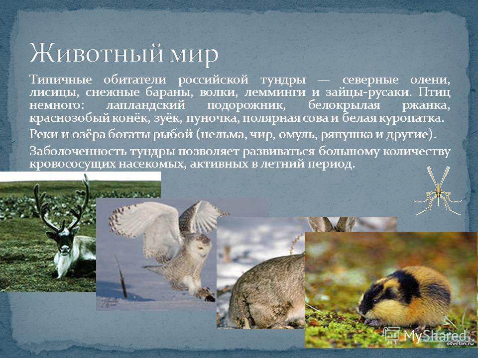 Типичные обитатели российской тундры северные олени, лисицы, снежные бараны, волки, лемминги и зайцы-русаки. Птиц немного: лапландский подорожник, белокрылая ржанка, краснозобый конёк, зуёк, пуночка, полярная сова и белая куропатка. Реки и озёра бога