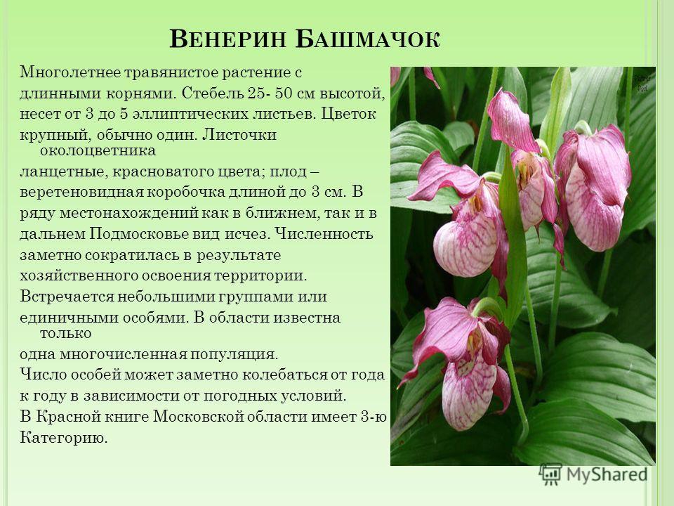 В ЕРОНИКА А ВСТРИЙСКАЯ Многолетнее травянистое растение высотой от 10 до 50 см. Стебли простые или ветвистые, приподнимающиеся; покрыты, как и листья, курчавыми волосками. Цветет с начала июня до середины августа. Размножается преимущественно семенам
