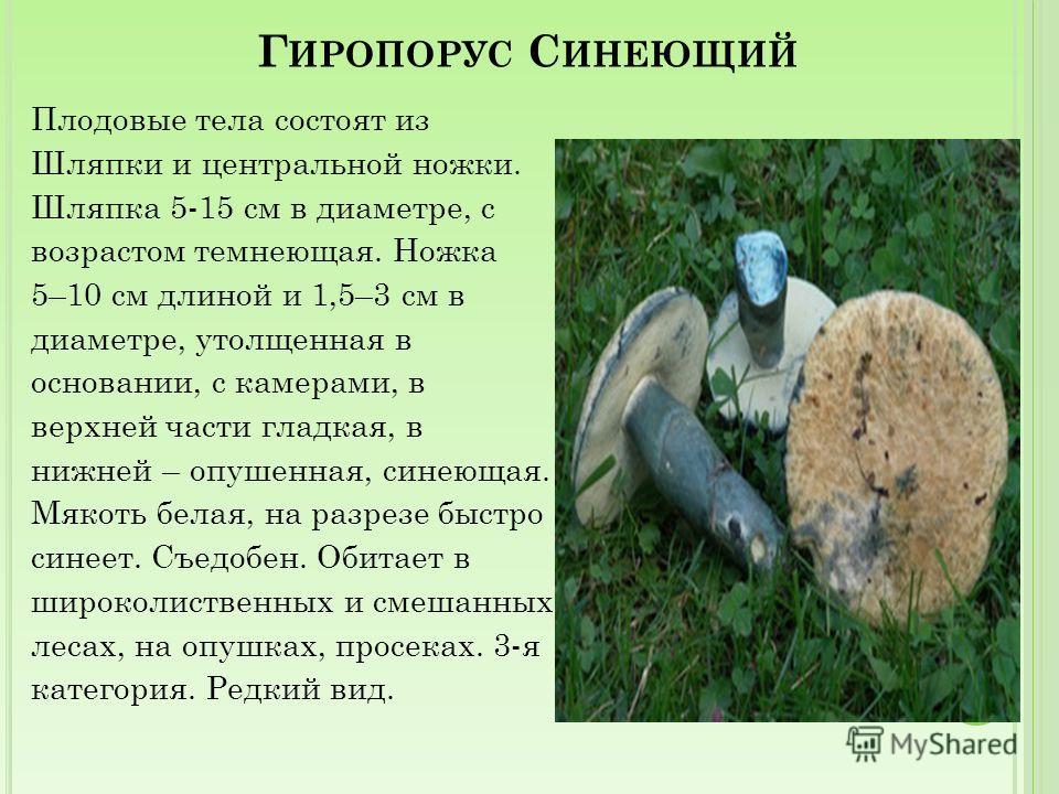 О СИНОВИК Б ЕЛЫЙ Плодовые тела состоят из шляпки и центральной ножки. Шляпка 6– 20 см в диаметре, белая. Трубочки с мелкими порами. Ножка 4–17 см длиной и 1,5 см в диаметре, толстая, белая. Мякоть белая, в основании ножки желтая или зеленоватая, на р