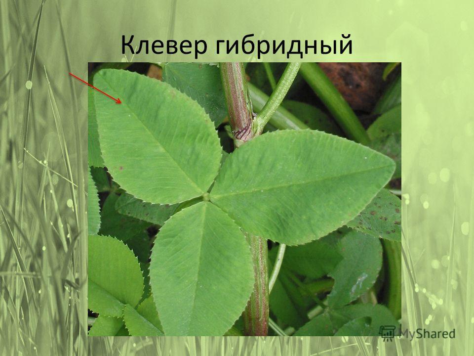 Клевер гибридный