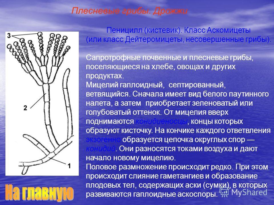 Пеницилл (кистевик). Класс Аскомицеты (или класс Дейтеромицеты, несовершенные грибы). Сапротрофные почвенные и плесневые грибы, поселяющиеся на хлебе, овощах и других продуктах. Мицелий гаплоидный, септированный, ветвящийся. Сначала имеет вид белого