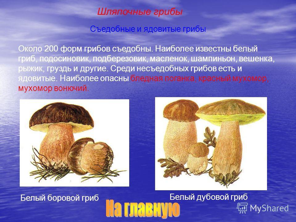 Съедобные и ядовитые грибы Около 200 форм грибов съедобны. Наиболее известны белый гриб, подосиновик, подберезовик, масленок, шампиньон, вешенка, рыжик, груздь и другие. Среди несъедобных грибов есть и ядовитые. Наиболее опасны бледная поганка, красн