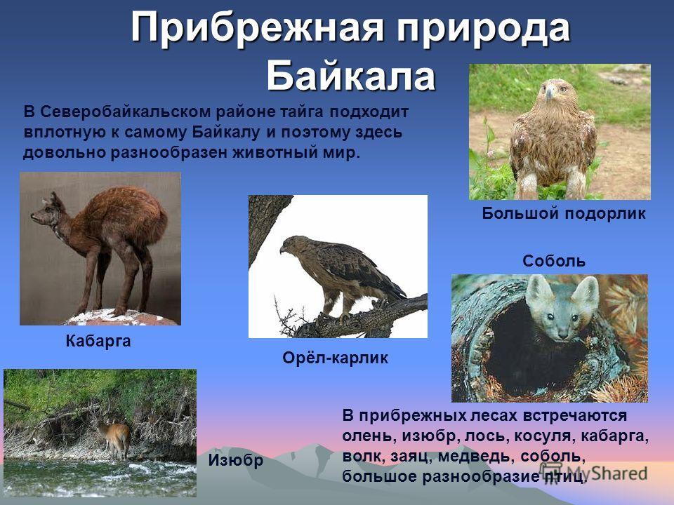 Прибрежная природа Байкала В Северобайкальском районе тайга подходит вплотную к самому Байкалу и поэтому здесь довольно разнообразен животный мир. В прибрежных лесах встречаются олень, изюбр, лось, косуля, кабарга, волк, заяц, медведь, соболь, большо