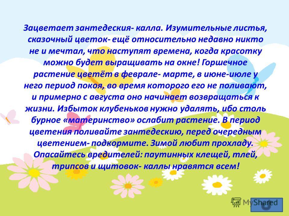 Зацветает зантедеския- калла. Изумительные листья, сказочный цветок- ещё относительно недавно никто не и мечтал, что наступят времена, когда красотку можно будет выращивать на окне! Горшечное растение цветёт в феврале- марте, в июне-июле у него перио