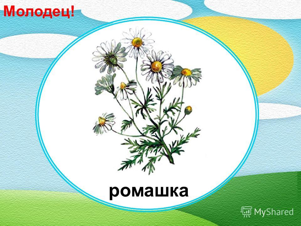 пижма незабудкагвоздика ромашка бегония Какой цветок помогает при ангине?