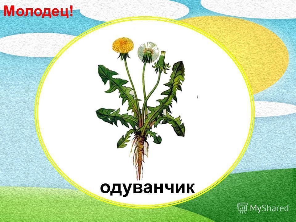 Какой цветок распускается жёлтым, а потом белеет? анютины глазки подсолнух лютик одуванчик