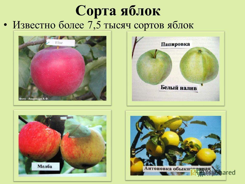 Сорта яблок Известно более 7,5 тысяч сортов яблок