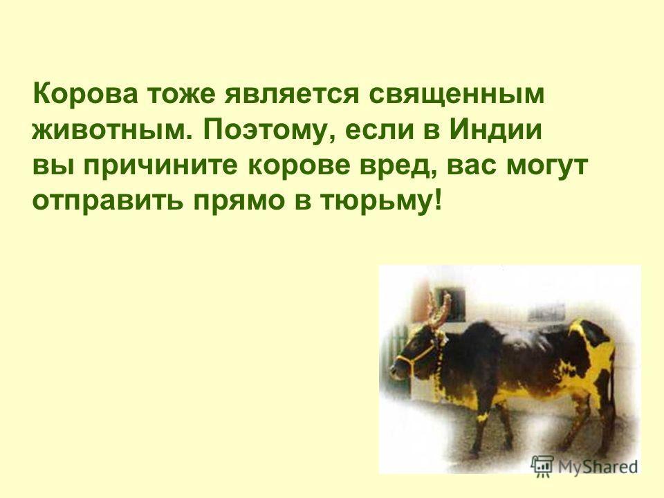 Корова тоже является священным животным. Поэтому, если в Индии вы причините корове вред, вас могут отправить прямо в тюрьму!