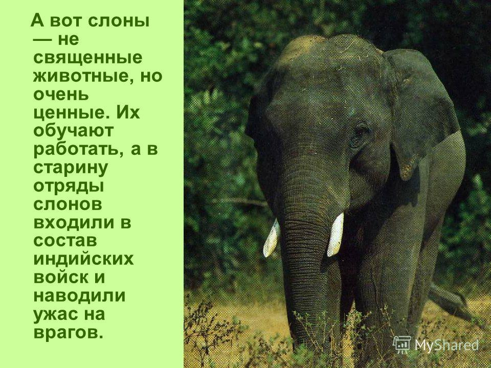 А вот слоны не священные животные, но очень ценные. Их обучают работать, а в старину отряды слонов входили в состав индийских войск и наводили ужас на врагов.