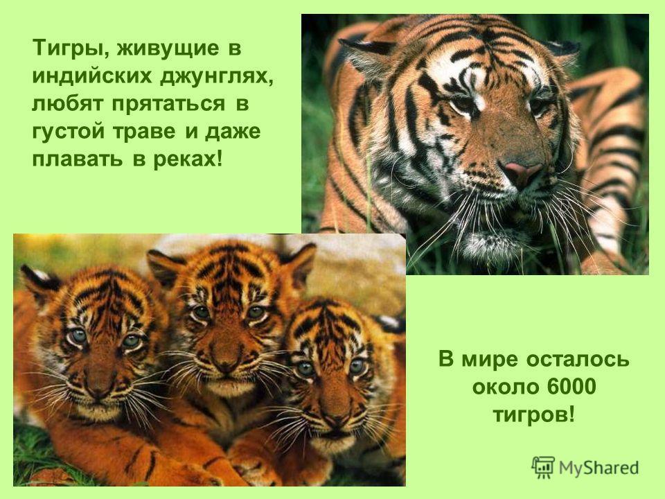 В мире осталось около 6000 тигров! Тигры, живущие в индийских джунглях, любят прятаться в густой траве и даже плавать в реках!