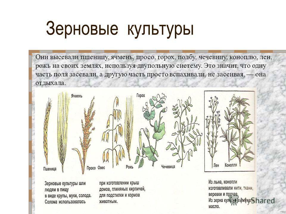 Зерновые культуры Они высевали пшеницу, ячмень, просо, горох, полбу, чечевицу, коноплю, лен, рожь на своих землях, используя двупольную систему. Это значит, что одну часть поля засевали, а другую часть просто вспахивали, не засеивая, она отдыхала.