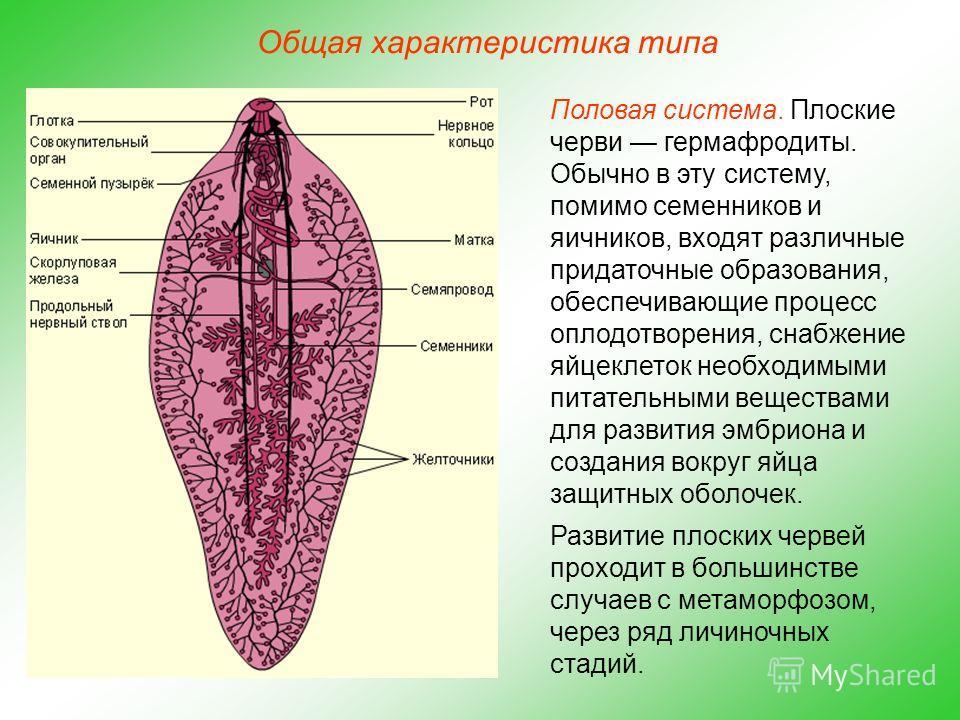 Общая характеристика типа Половая система. Плоские черви гермафродиты. Обычно в эту систему, помимо семенников и яичников, входят различные придаточные образования, обеспечивающие процесс оплодотворения, снабжение яйцеклеток необходимыми питательными