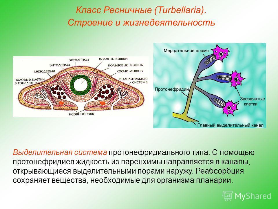 Класс Ресничные (Turbellaria). Строение и жизнедеятельность Выделительная система протонефридиального типа. С помощью протонефридиев жидкость из паренхимы направляется в каналы, открывающиеся выделительными порами наружу. Реабсорбция сохраняет вещест