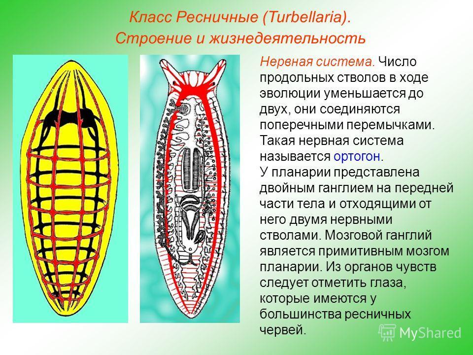 Класс Ресничные (Turbellaria). Строение и жизнедеятельность Нервная система. Число продольных стволов в ходе эволюции уменьшается до двух, они соединяются поперечными перемычками. Такая нервная система называется ортогон. У планарии представлена двой