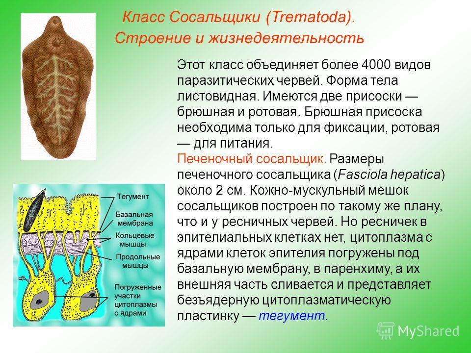 Класс Сосальщики (Trematoda). Строение и жизнедеятельность Этот класс объединяет более 4000 видов паразитических червей. Форма тела листовидная. Имеются две присоски брюшная и ротовая. Брюшная присоска необходима только для фиксации, ротовая для пита