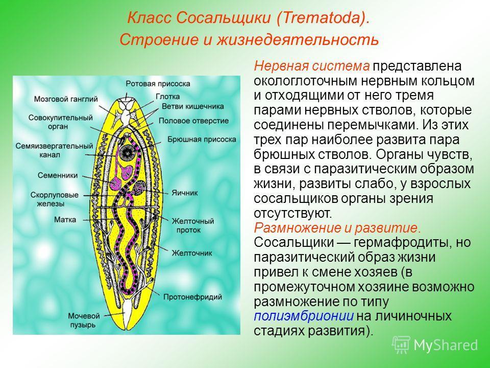 Класс Сосальщики (Trematoda). Строение и жизнедеятельность Нервная система представлена окологлоточным нервным кольцом и отходящими от него тремя парами нервных стволов, которые соединены перемычками. Из этих трех пар наиболее развита пара брюшных ст