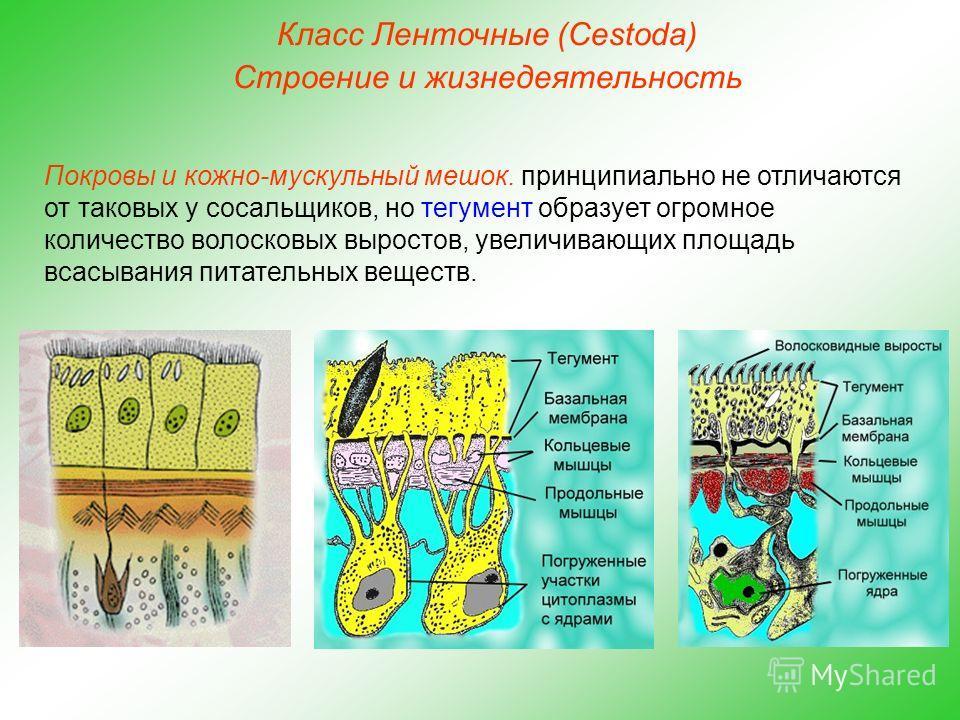 Класс Ленточные (Cestoda) Строение и жизнедеятельность Покровы и кожно-мускульный мешок. принципиально не отличаются от таковых у сосальщиков, но тегумент образует огромное количество волосковых выростов, увеличивающих площадь всасывания питательных