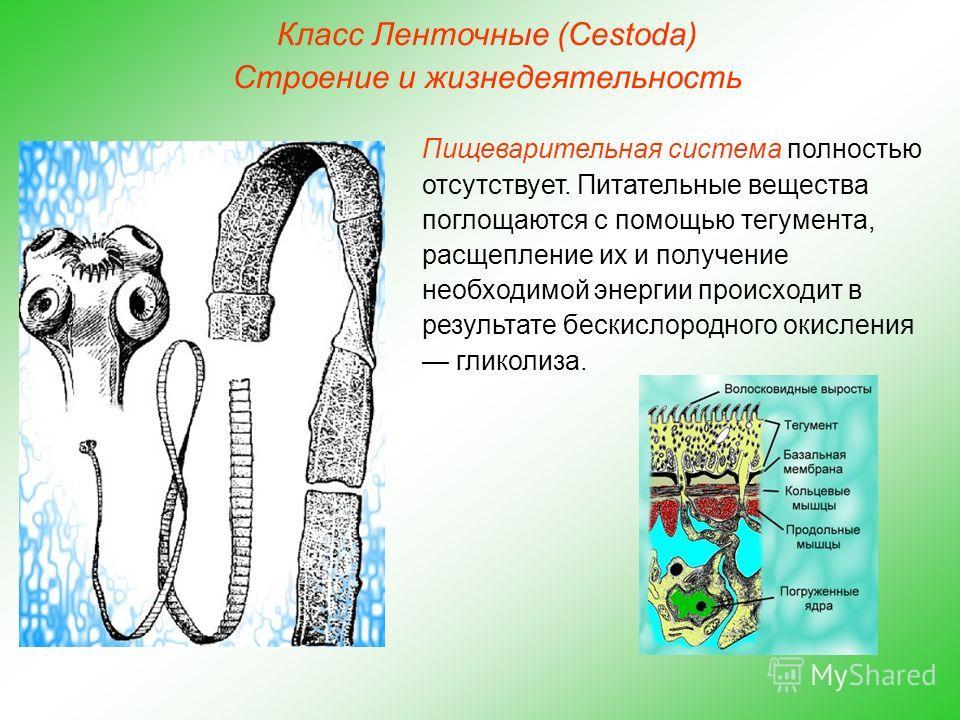 Класс Ленточные (Cestoda) Строение и жизнедеятельность Пищеварительная система полностью отсутствует. Питательные вещества поглощаются с помощью тегумента, расщепление их и получение необходимой энергии происходит в результате бескислородного окислен