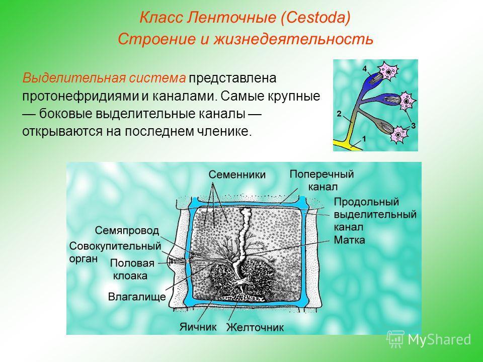Класс Ленточные (Cestoda) Строение и жизнедеятельность Выделительная система представлена протонефридиями и каналами. Самые крупные боковые выделительные каналы открываются на последнем членике.
