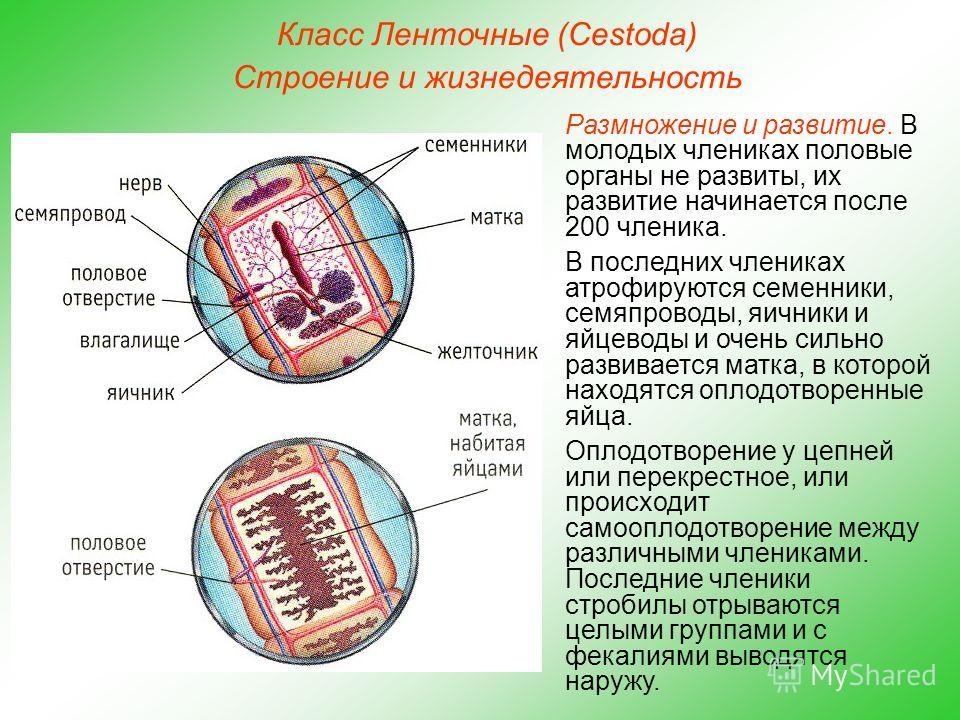 Класс Ленточные (Cestoda) Строение и жизнедеятельность Размножение и развитие. В молодых члениках половые органы не развиты, их развитие начинается после 200 членика. В последних члениках атрофируются семенники, семяпроводы, яичники и яйцеводы и очен