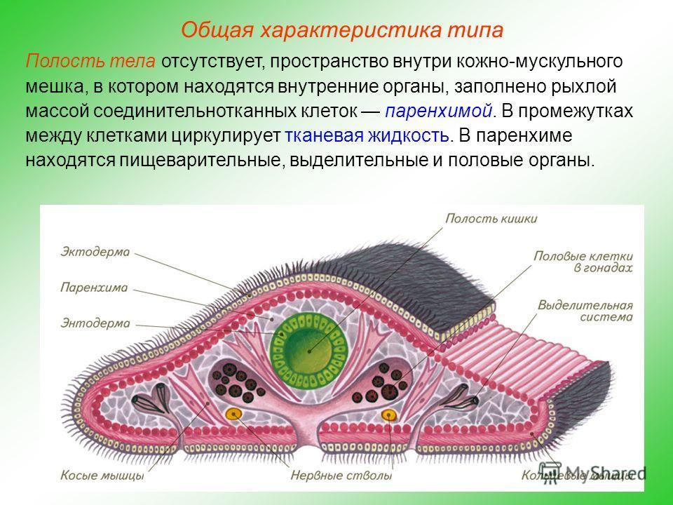 Flatworm Diagram Animalcarecollegefo