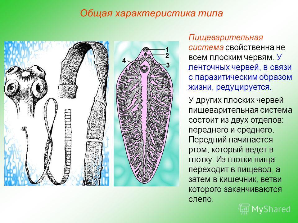 Общая характеристика типа Пищеварительная система свойственна не всем плоским червям. У ленточных червей, в связи с паразитическим образом жизни, редуцируется. У других плоских червей пищеварительная система состоит из двух отделов: переднего и средн