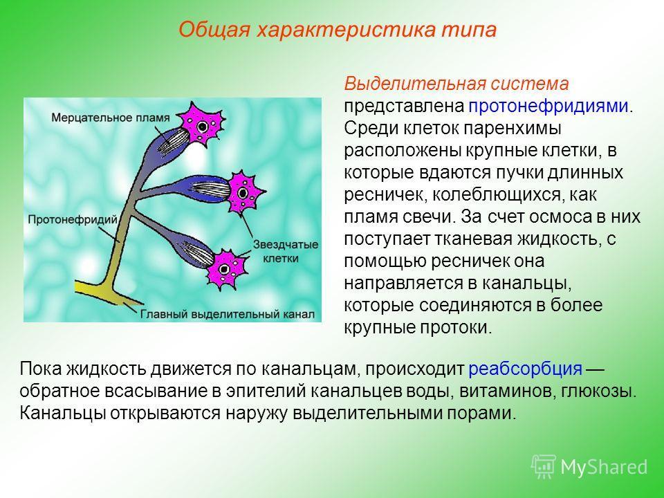 Общая характеристика типа Выделительная система представлена протонефридиями. Среди клеток паренхимы расположены крупные клетки, в которые вдаются пучки длинных ресничек, колеблющихся, как пламя свечи. За счет осмоса в них поступает тканевая жидкость