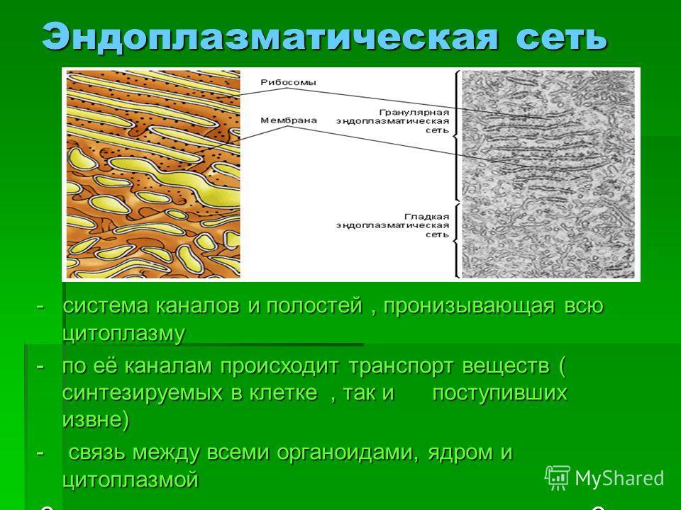 Эндоплазматическая сеть - система каналов и полостей, пронизывающая всю цитоплазму -по её каналам происходит транспорт веществ ( синтезируемых в клетке, так и поступивших извне) - связь между всеми органоидами, ядром и цитоплазмой ? Какой биополимер
