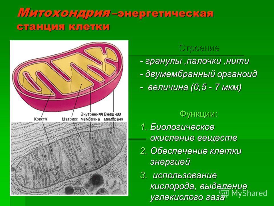 Митохондрия –энергетическая станция клетки Строение - гранулы,палочки,нити - двумембранный органоид - величина (0,5 - 7 мкм) Функции: 1.Биологическое окисление веществ 2.Обеспечение клетки энергией 3. использование кислорода, выделение углекислого га