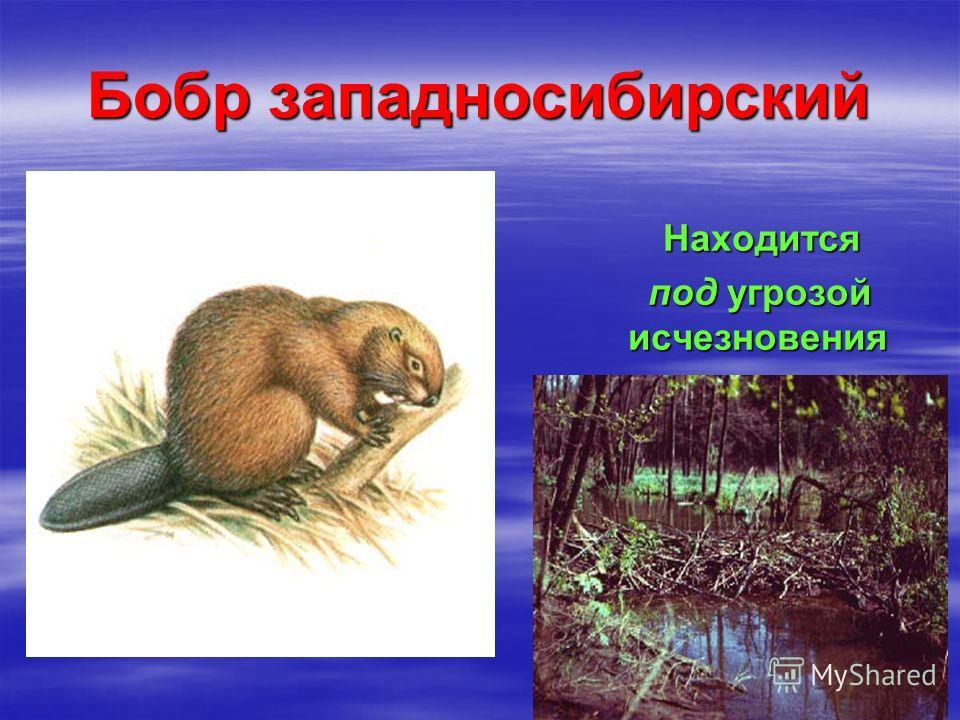 Бобр западносибирский Находится Находится под угрозой исчезновения под угрозой исчезновения