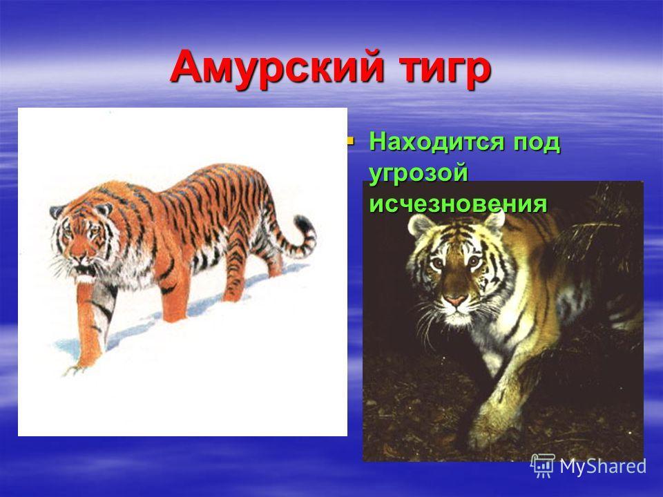 Амурский тигр Находится под угрозой исчезновения Находится под угрозой исчезновения