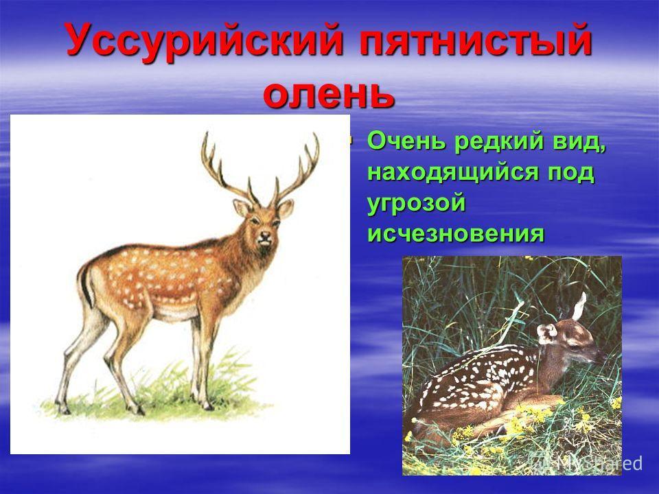 Уссурийский пятнистый олень Очень редкий вид, находящийся под угрозой исчезновения Очень редкий вид, находящийся под угрозой исчезновения