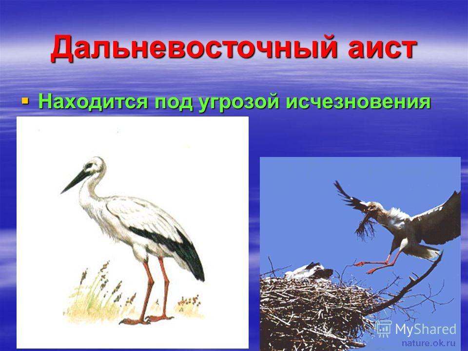 Дальневосточный аист Находится под угрозой исчезновения Находится под угрозой исчезновения