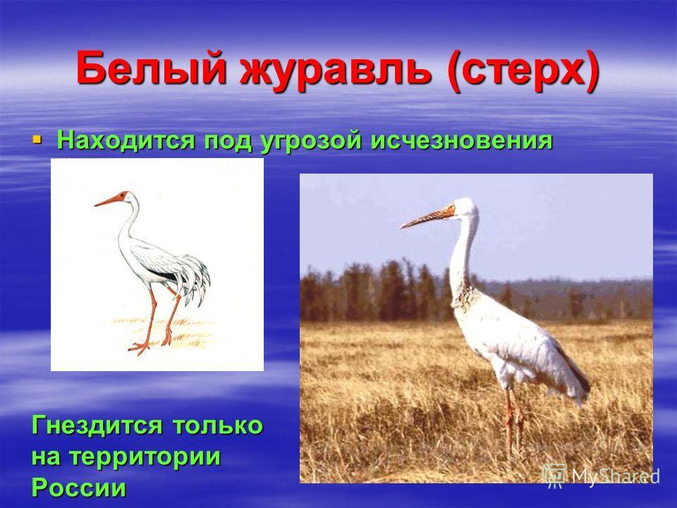 Белый журавль (стерх) Гнездится только на территории России