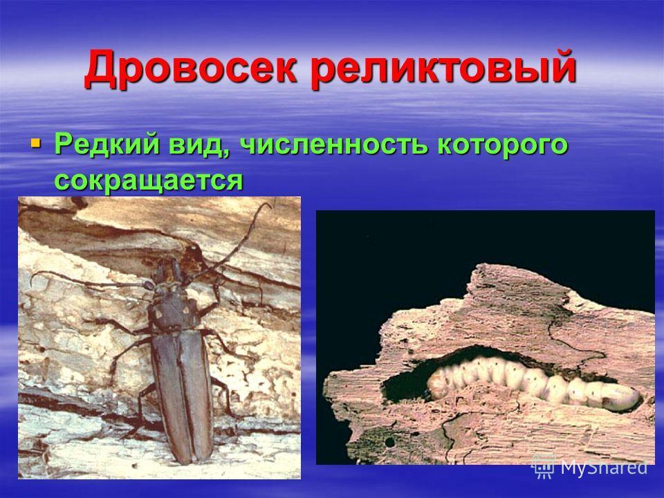 Дровосек реликтовый Редкий вид, численность которого сокращается Редкий вид, численность которого сокращается