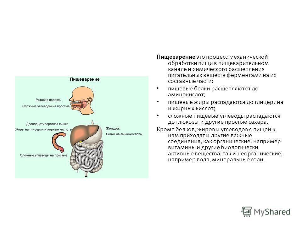 Пищеварение это процесс механической обработки пищи в пищеварительном канале и химического расщепления питательных веществ ферментами на их составные части: пищевые белки расщепляются до аминокислот; пищевые жиры распадаются до глицерина и жирных кис