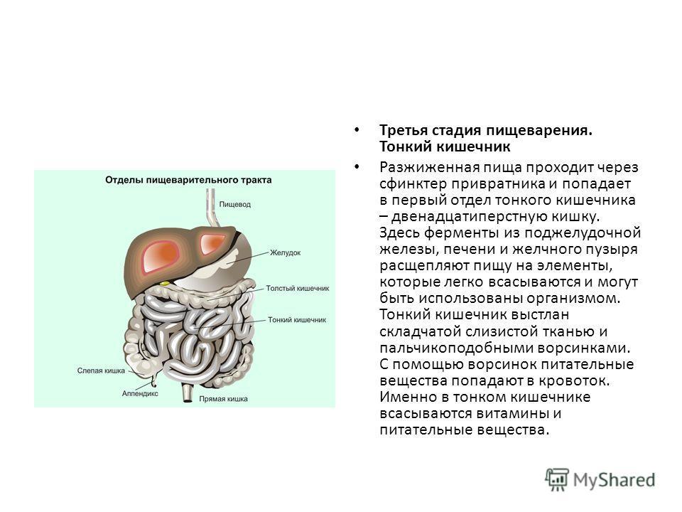 Третья стадия пищеварения. Тонкий кишечник Разжиженная пища проходит через сфинктер привратника и попадает в первый отдел тонкого кишечника – двенадцатиперстную кишку. Здесь ферменты из поджелудочной железы, печени и желчного пузыря расщепляют пищу н