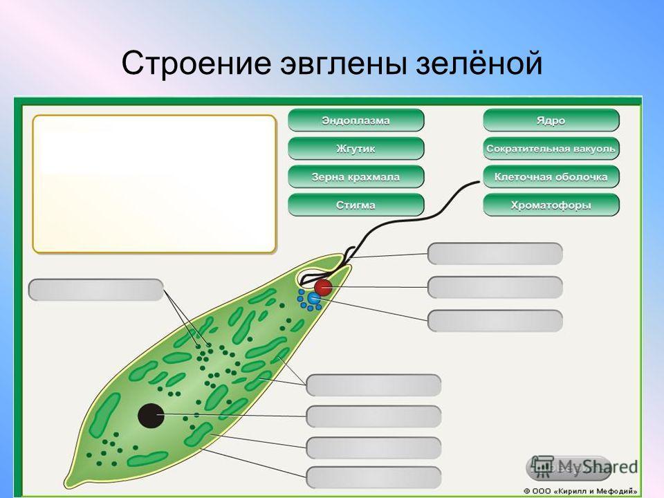 Строение эвглены зелёной