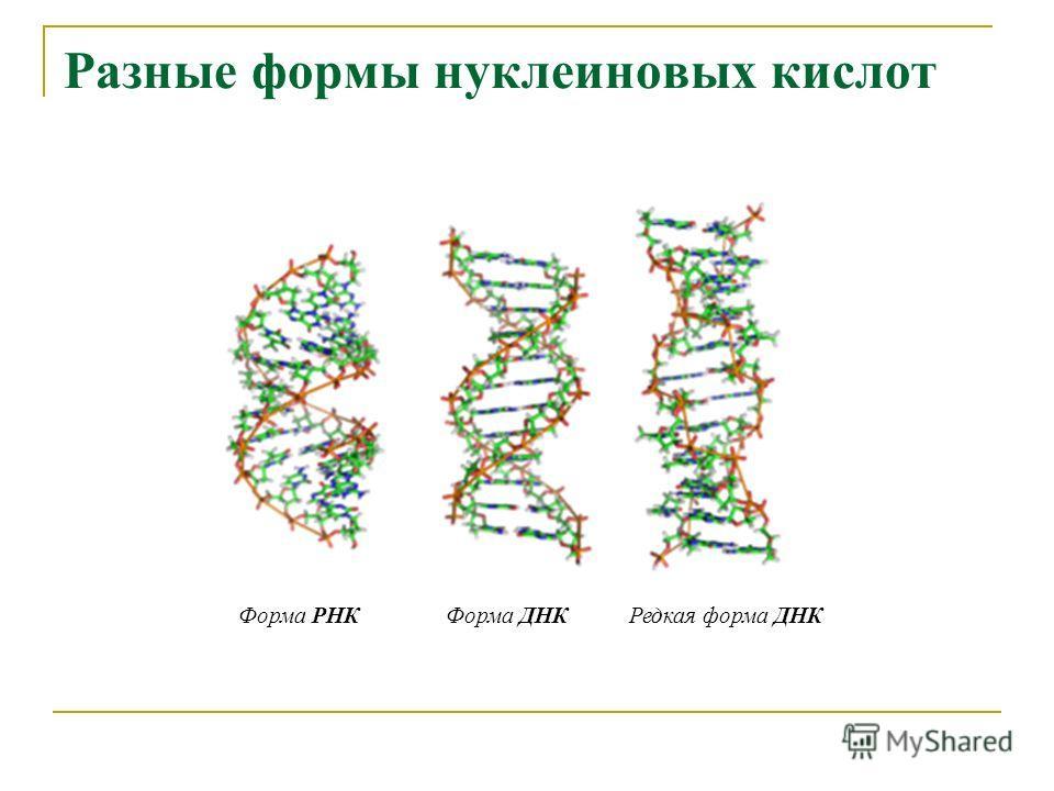 Разные формы нуклеиновых кислот Форма РНКФорма ДНКРедкая форма ДНК