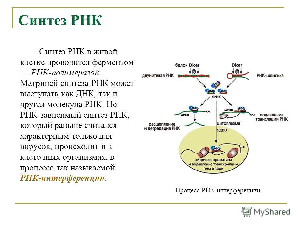 Синтез РНК Синтез РНК в живой клетке проводится ферментом РНК-полимеразой. Матрицей синтеза РНК может выступать как ДНК, так и другая молекула РНК. Но РНК-зависимый синтез РНК, который раньше считался характерным только для вирусов, происходит и в кл