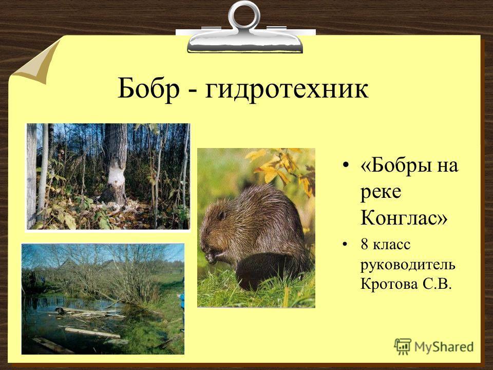 Бобр - гидротехник «Бобры на реке Конглас» 8 класс руководитель Кротова С.В.