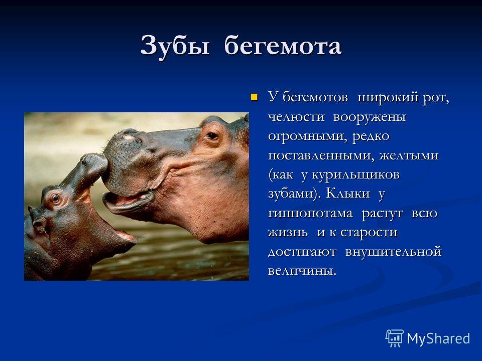 Зубы бегемота У бегемотов широкий рот, челюсти вооружены огромными, редко поставленными, желтыми (как у курильщиков зубами). Клыки у гиппопотама растут всю жизнь и к старости достигают внушительной величины.