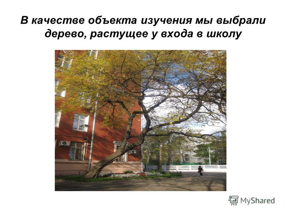 В качестве объекта изучения мы выбрали дерево, растущее у входа в школу